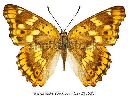 Dorsal view of Aglais ilia (Lesser Purple Emperor) butterfly isolated on white background. - stock photo