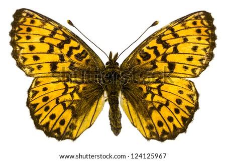 Dorsal view of Boloria (Clossiana) titania (Titania's Fritillary) butterfly isolated on white background. - stock photo