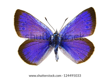 Dorsal view of Glaucopsyche alexis (Green-underside Blue) butterfly isolated on white background. - stock photo