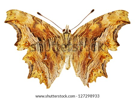 Dorsal view of Polygonia egea (Southern Comma) butterfly isolated on white background. - stock photo