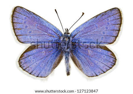 Dorsal view of Polyommatus dorylas (Turquoise Blue) butterfly isolated on white background. - stock photo