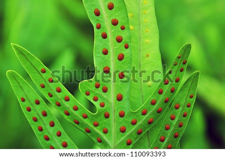 Dotted fern leaf (Maile-Scented) - stock photo