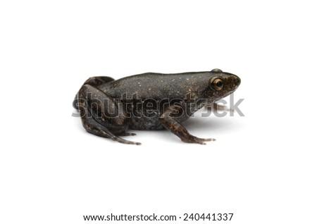 Dotted humming frog (Chiasmocleis ventriculata) - stock photo
