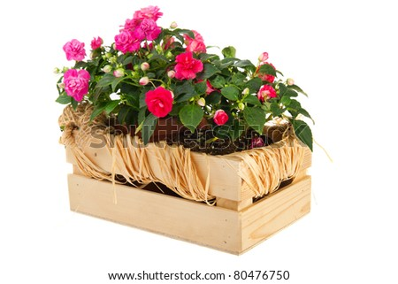 Double Busy Lizzy plants in wooden crate isolated over white background - stock photo