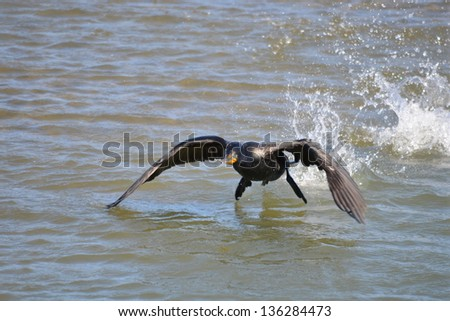 double-crested cormorant - stock photo