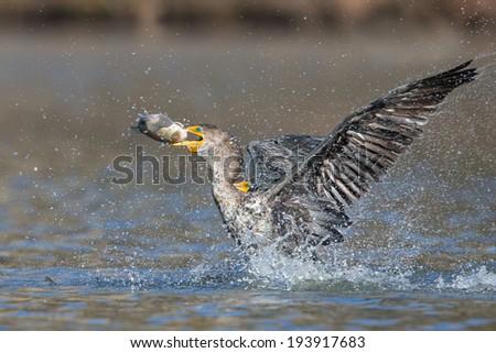 Double-crested Cormorant - stock photo