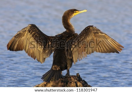 Double-crested Cormorant spreading it's wings to dry - stock photo