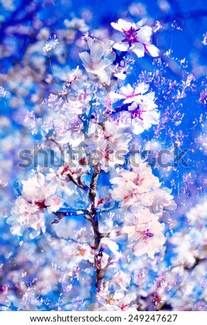 double exposure of almond trees in full bloom - stock photo