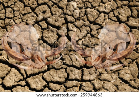Double exposure of pig skull over cracked dried earth due to a world drought and climate change, , illustrating the effects it has on wildlife - stock photo