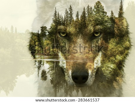 Double exposure of wolf snout and forest - stock photo