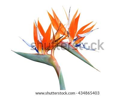 Double headed strelitzia or bird of paradise flower isolated on white background - stock photo
