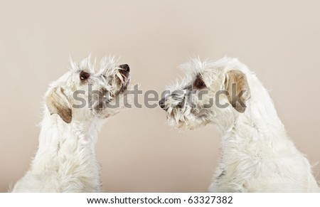 double Irish wolfhound dogs looking to himself - stock photo