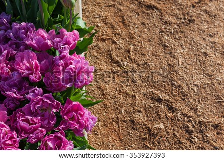 Double petaled purple tulips in a raised garden bed with a mulch background. - stock photo