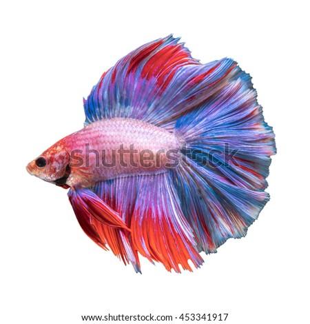 Double Tail Betta fish, siamese fighting fish on white background - stock photo