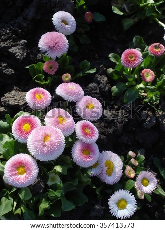 Double white with pink bellis perennis flowers in the garden in spring - stock photo