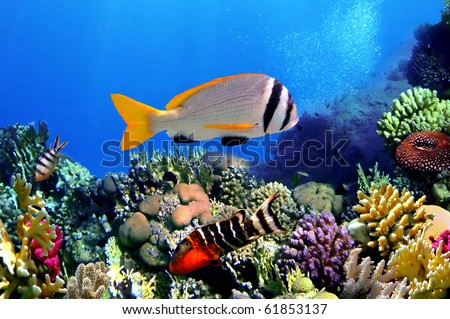 Doublebar bream (acanthopagrus bifasciatus) , Red Sea, Egypt - stock photo
