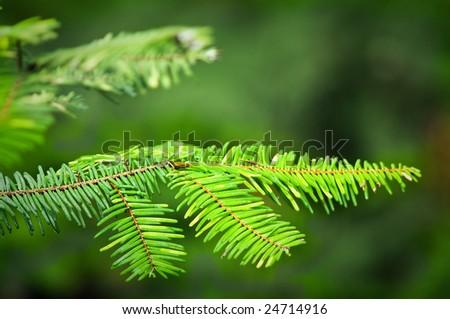 Douglas fir branch - stock photo