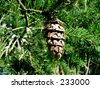 Douglas Fir cone - stock photo