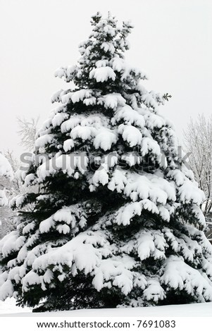 Douglas Fir (Pseudotsuga menziesii) blanketed in heavy snow looks like nature's perfect Christmas tree. - stock photo