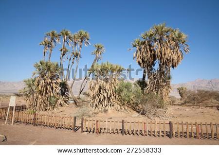 Doum Palm, Doom Palm - stock photo