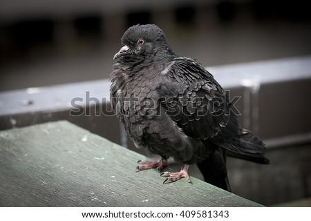 Dove.  - stock photo