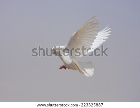 dove fly in the air  - stock photo
