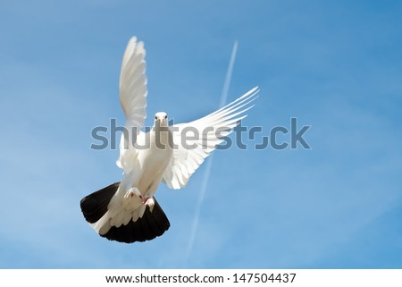 dove flying in the sky - stock photo