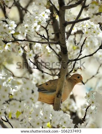 Dove in a blossoming Cherry Tree Traverse City Michigan USA - stock photo