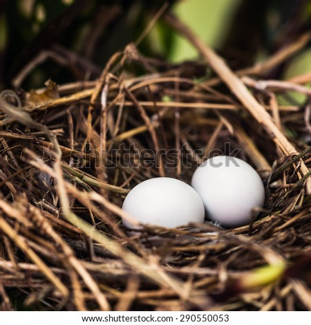 Dove nest with two unhatched eggs in it - stock photo