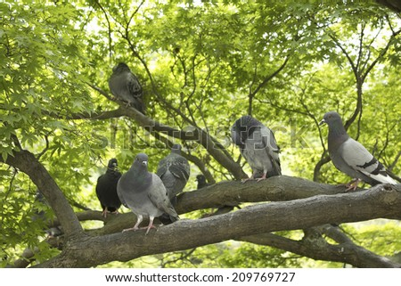 Dove Sitting on a Branch of a Maple Tree - stock photo