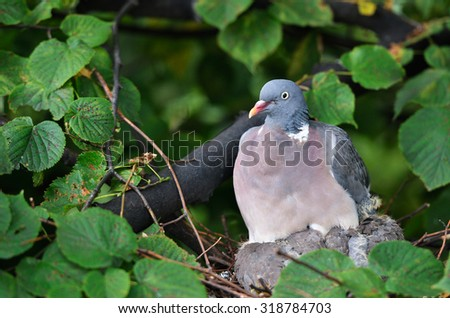 dove sitting on a nest in the forest - stock photo