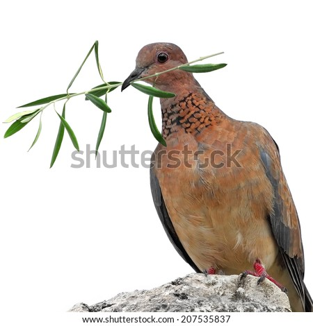 Dove ( turtle dove) with olive branch isolated on a white background - stock photo