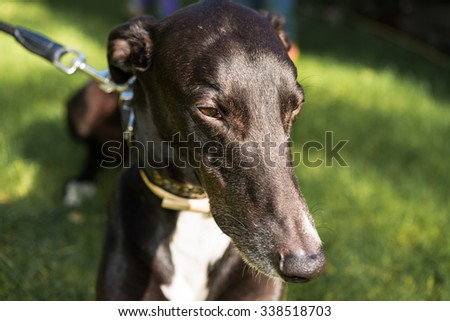 Down! Outside dog training with black greyhound in green grass.  Head of beautiful sighthound waiting for command on the ground, perfect for pet animal blog and website - stock photo