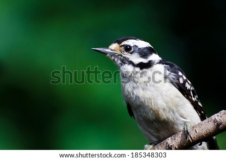 Downy Woodpecker Against a Green Background - stock photo