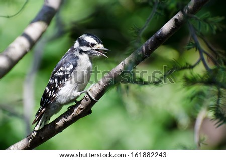 Downy Woodpecker in Mid-Call - stock photo