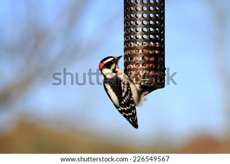 Downy Woodpecker male - stock photo
