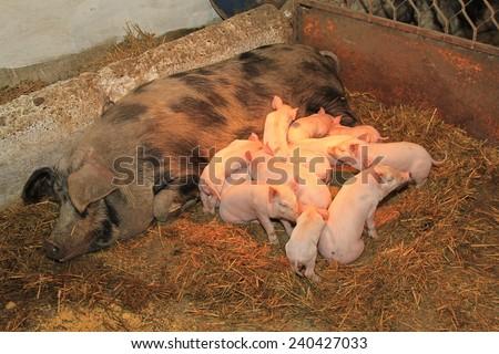 Dozen pink piglets sucking big sow in pen - stock photo