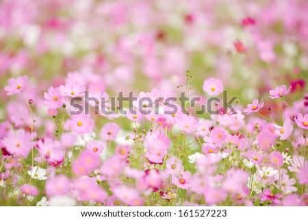 Dozens of little pink flowers growing. - stock photo