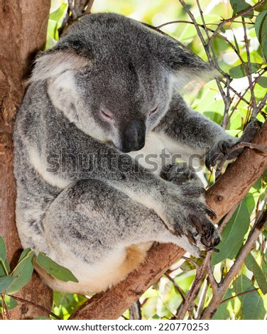dozing koala in eucalyptus tree - stock photo