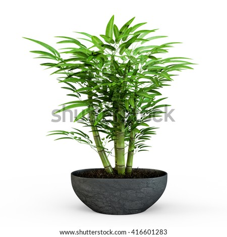 Dracaena braunii plants in flowerpot. Bamboo House plate in the pot isolated on white background. 3D Rendering, 3D Illustration. - stock photo