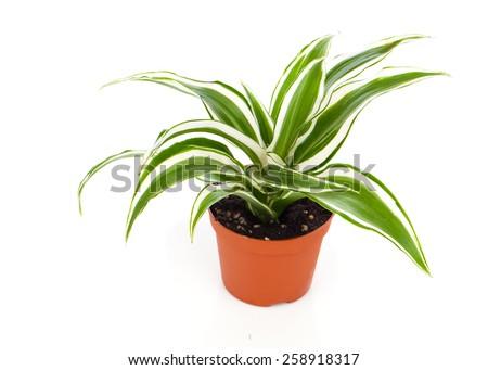 Dracaena fragrans (cornstalk dracaena) isolated on a white background - stock photo