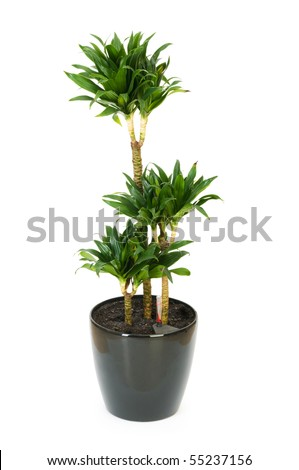 Dracaena plant isolated on the white background - stock photo