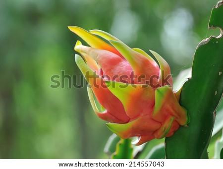 Dragon fruit - stock photo