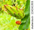 dragon fruit bud on a tree - stock photo
