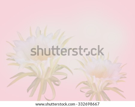 Dragon fruit flower on blooming.white blooming flower.dragon flower on pink background - stock photo
