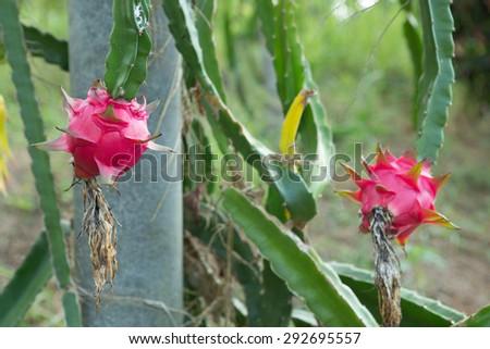 Dragon fruit,Pitaya on tree  - stock photo
