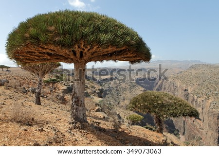 Dragon tree - Dracaena cinnabari - Dragon's blood - endemic tree  - stock photo