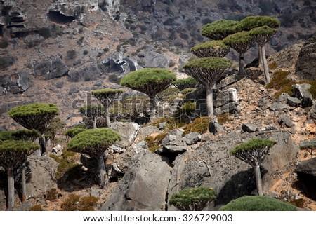 Dragon tree - Dracaena cinnabari - Dragon's blood - endemic tree from Soqotra, Yemen - stock photo