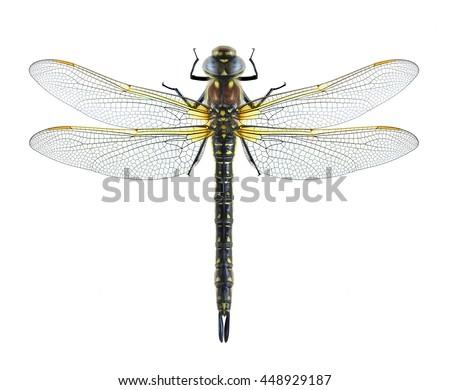 Dragonfly Brachytron pratense on a white background - stock photo