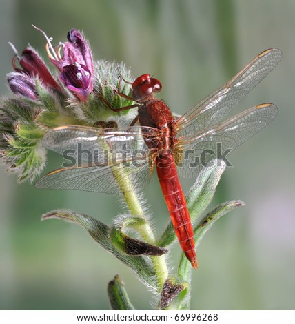 Dragonfly Crocothemis servilia (male) on the flower - stock photo